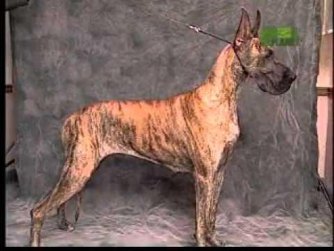 Dog Breeds 101 Video: Great Dane