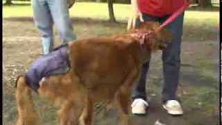 Southeastern Virginia Golden Retriever Rescue, Education, And Training