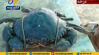 Rare Crab Spotted  At Uppada Of East Godavari Dist