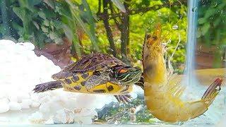 Cho rùa ăn tôm lột, món ăn yêu thích của rùa