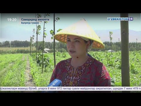Махсус репортаж | Самарқанд вилояти Булунғур туманида Павлония дарахти етиштириш истиқболлари