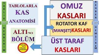 6- KAS ANATOMİSİ - ÜST TARAF KASLARI ,OMUZ KASLARI , ROTATOR KAF (MANŞET) KASLARI , BÖLÜM ALTI #6