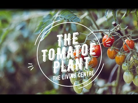 Growing Tomatoes in Singapore