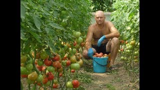 Обрезка листьев у помидор.Нужно ли удалять листья  у томатов.