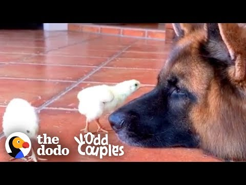 watch-these-german-shepherds-raise-baby-chickens-|-the-dodo-odd-couples
