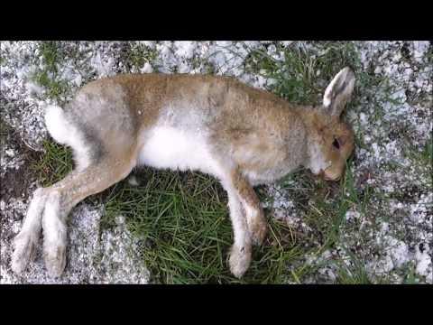 Beautiful Irish Hare found on Gilnahirk Road Belfast