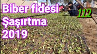 112 Biber fidesi şaşırtma 2019. Biber yetiştiriciliği mersin Tarsus baharlı köyü