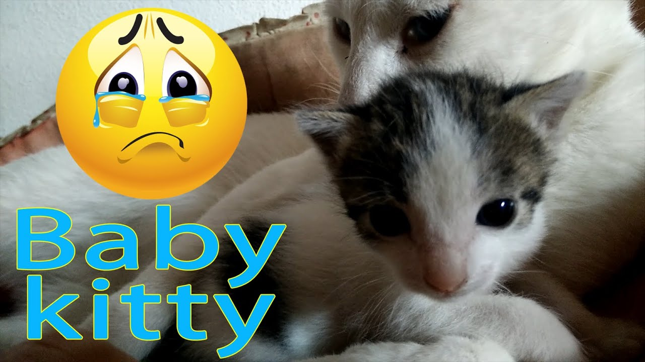 White Baby Kittens With Blue Eyes Baby kitty with...