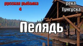Русская рыбалка 4 рр4 rf4 река Нижняя тунгуска Пелядь