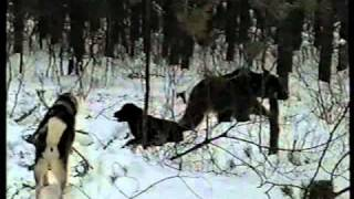 Охота на медведя зимой1.avi