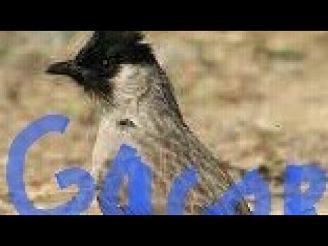 pikat burung kutilang gacor...... durasi panjang