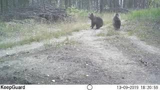Медведица с пятью медвежатами в Керженском заповеднике