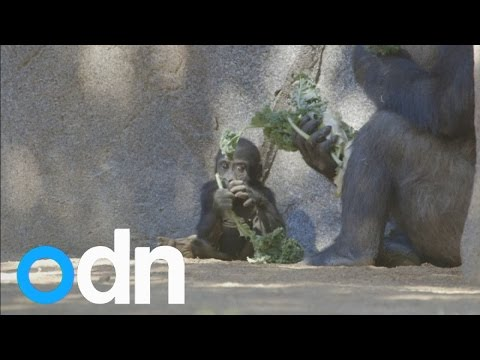 Cute baby gorilla learns to walk at San Diego Zoo