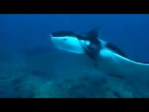 Images tres proches requins raie manta ...mozambique plongée