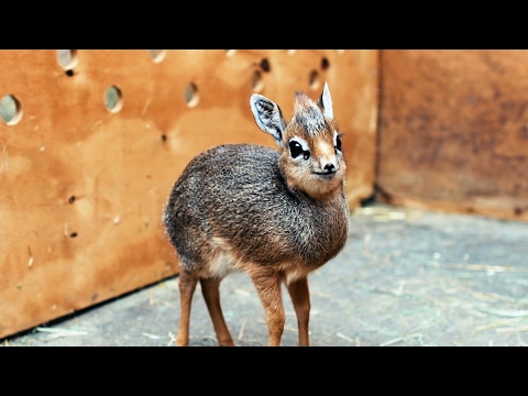 Adorable Ba DikDik Antelope Is Only 19cm Tall: ZooBorns