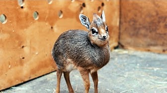 Adorable Baby Dik-Dik Antelope Is Only 19cm Tall: ZooBorns