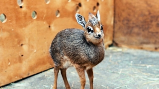 [1.91 MB] Adorable Baby Dik-Dik Antelope Is Only 19cm Tall: ZooBorns