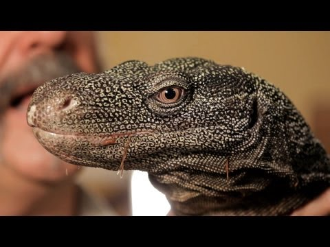 5 Cool Facts about Monitor Lizards | Pet Reptiles