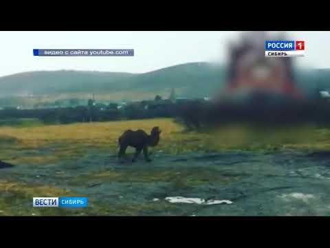 Гуляющего в поле верблюда нашли и накормили жители Красноярска