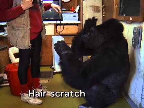 Koko Invents a Sign for BRUSH