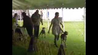 Weimaraner Monroe Kennel Club Show Sunday September 29, 2013