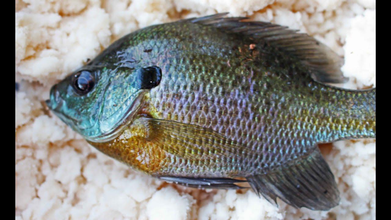 Catching catfish bait with mashed potatoes bluegill f for Bluegill fishing bait