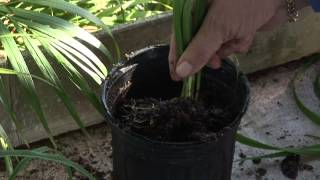 How to Grow Day Lilies With Root Cutting Sections