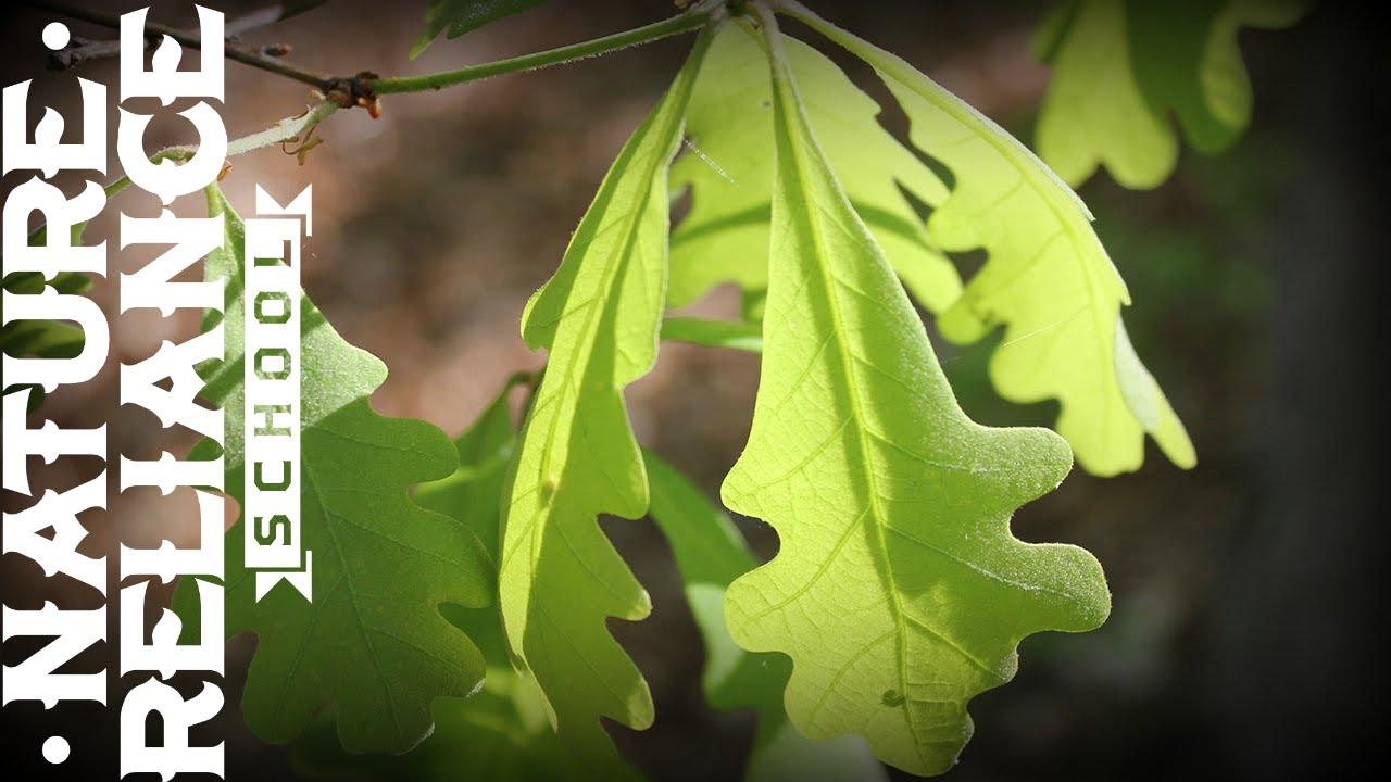Tree Identification White Oak Hunting Wildlife
