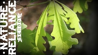Tree Identification - White Oak - Hunting, Wildlife Observation, and Survival Uses