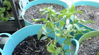 Garden Update #6 September 21, 2011