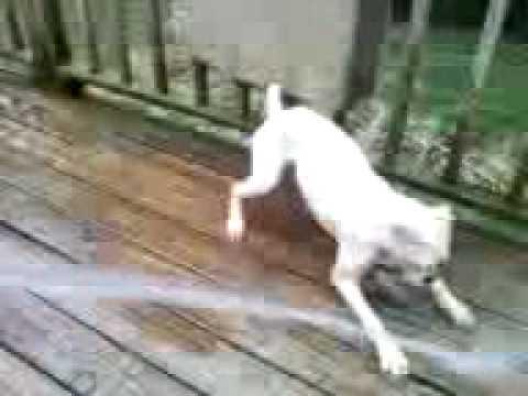 Luna the white boxer dog hates water