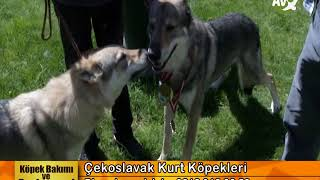 Köpek Bakımı ve Beslenmesi Çekoslavak Kurt Köpekleri