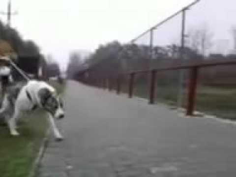 lobo contra kangal