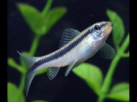 Top 16 Freshwater Algae Eaters