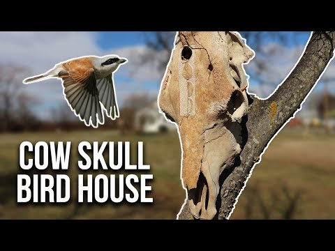 making-a-cow-skull-birdhouse!?