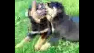 Rottweiler Puppies Playing...for Sale..washington State..6-12-2012