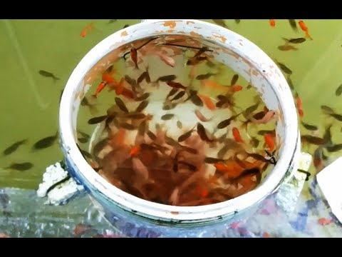 Alimento casero para goldfish guppy molly bettas youtube for Alimento para goldfish