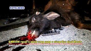 Биволи на кайма след удар в пътнически бус www.kotelnews.com