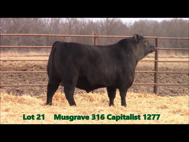 Musgrave Angus Lot 21