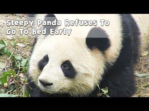 Sleepy Panda Refuses To Go To Bed Early | IPanda