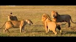 Löwin beschützt ihr kind