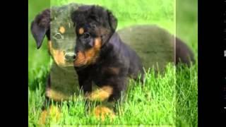 Смешные собаки и щенки породы Ротвейлер