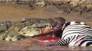 Crocodile vs Zebra - Crocodile Eating Zebra Alive - Crocodile Attack Zebra, Wildebeest