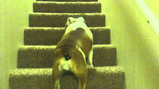 Bulldogs And Stairs! Caution