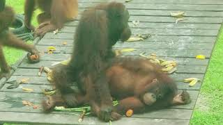 Ever Watched Orangutans Having Sex?
