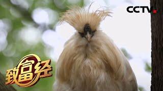 《致富经》外行养鸡巧破困局 不惧挑战创新致富 20200722   CCTV农业 - YouTube