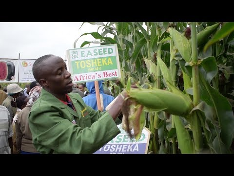 Drought resistant maize variety rolled out