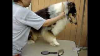 家庭犬のラフコリーの普段のお手入れ方法です。 ラフコリー専門エアウー...
