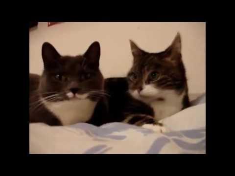 два кота прикол
