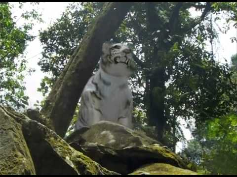 Promo 7 Manusia Harimau